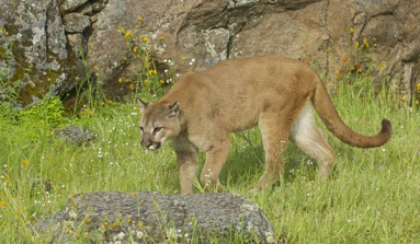 Encounter With A Mountain Lion In Glacier National Park